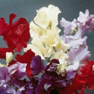 Sweet Pea - Continental mixed - 15 seeds